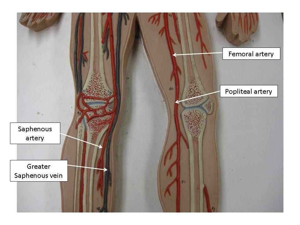 Vascular System Models - Arteries, Veins, Blood Cells - Complete ...