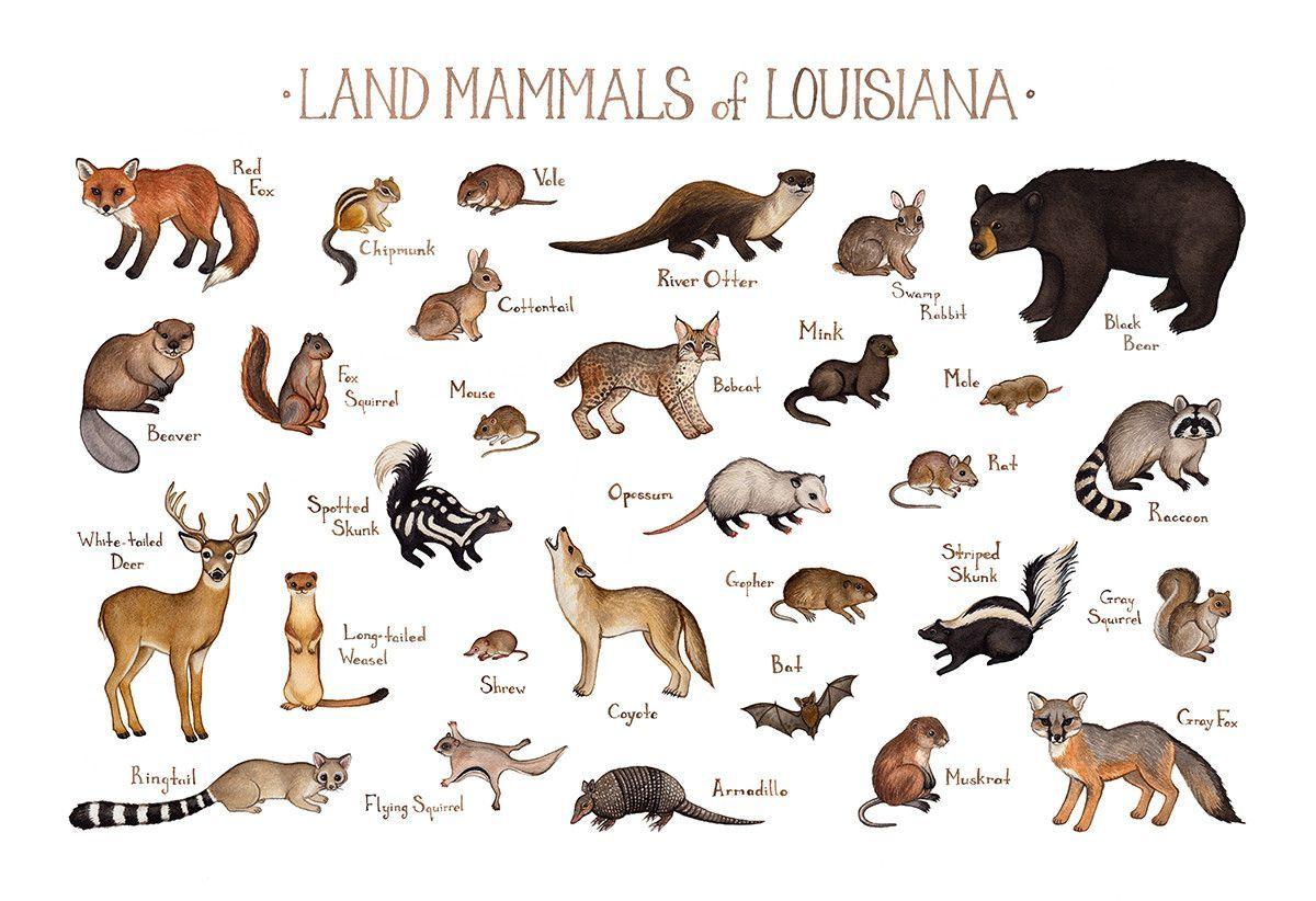 Louisiana Land Mammals Field Guide Art Print Mammals Fox