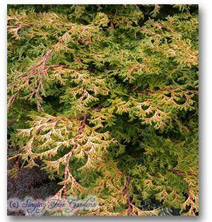 Genus: Chamaecyparis Species: obtusa Pygmaea Aurescens