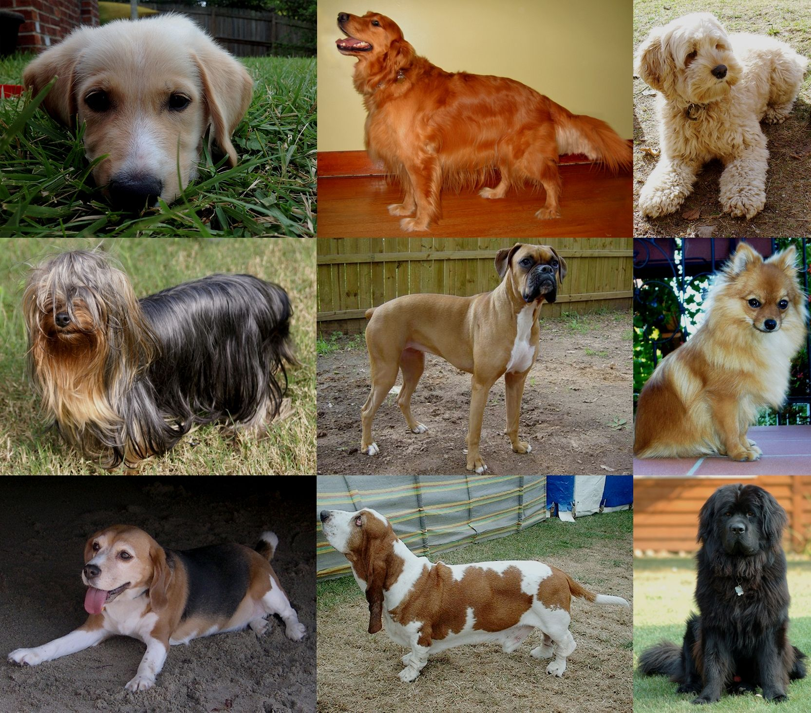 Popular Dog Breeds Most Popular Dog Breeds Labrador Puppy