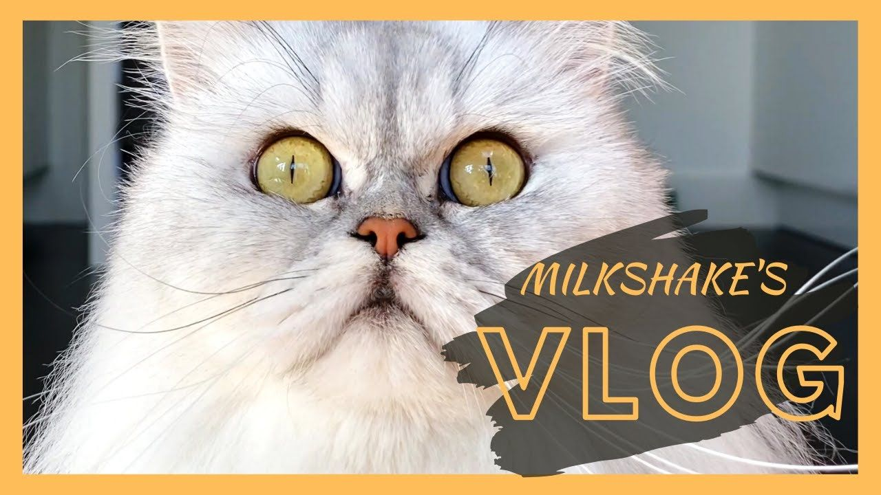A Shocked Shake Milkshake The Cat Vlog 14 In 2020 Vlogging Milkshake Cats