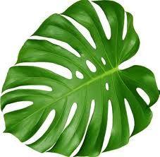 Monstera Leaves!