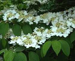 Viburnum furcatum common names forked viburnum and scarlet leaved viburnum furcatum common names forked viburnum and scarlet leaved viburnum is a species of flowering plant in the family adoxaceae formerly mightylinksfo
