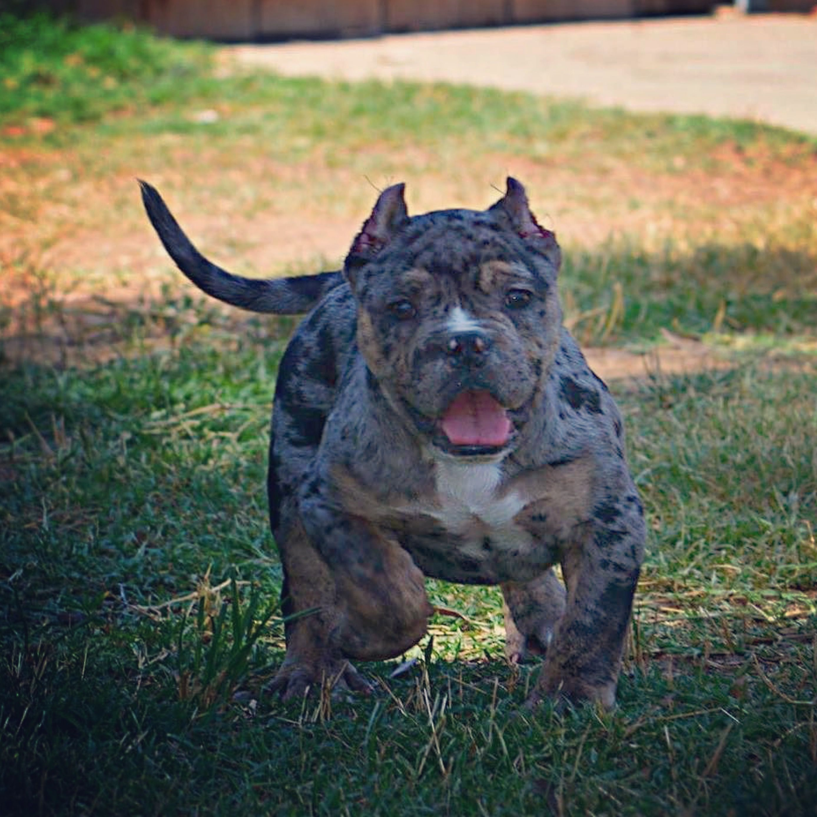 King Slayer Black Merle Tri Msb Kennels Bully Breeds Dogs Bully Breeds American Bully