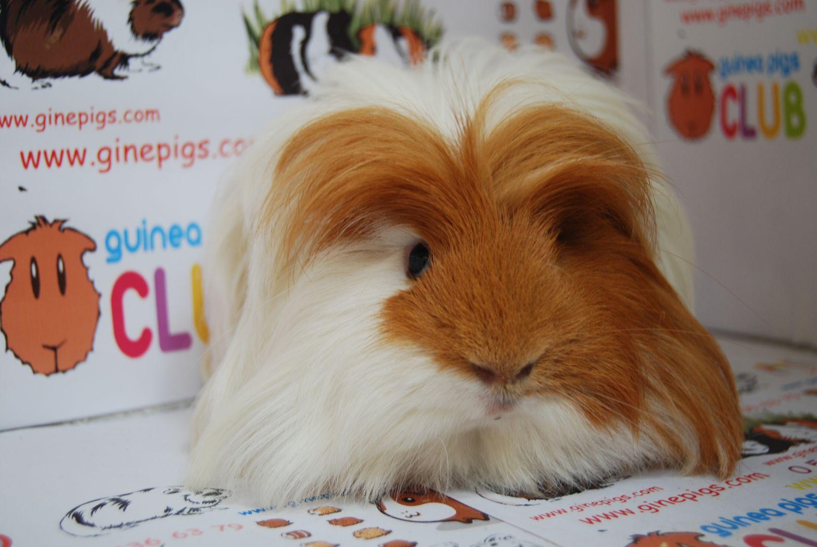 hight resolution of guinea pig sahiplenme ginepig sahiplenme ginepig fiyat