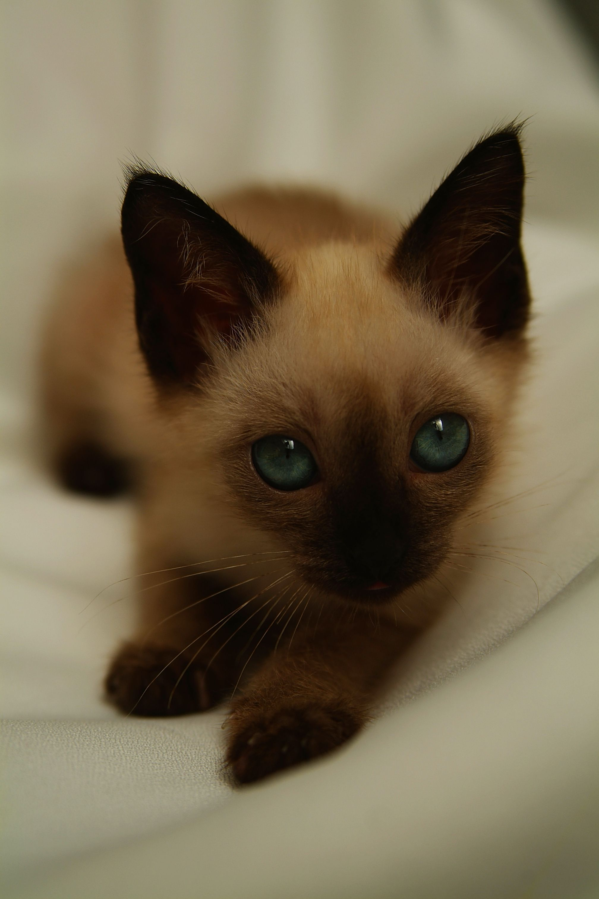 Got A Problem With Your Pet Try These Top Cat Care Tips Want To Know More Click On The Image Catstips Siamese Kittens Cute Cats Pretty Cats