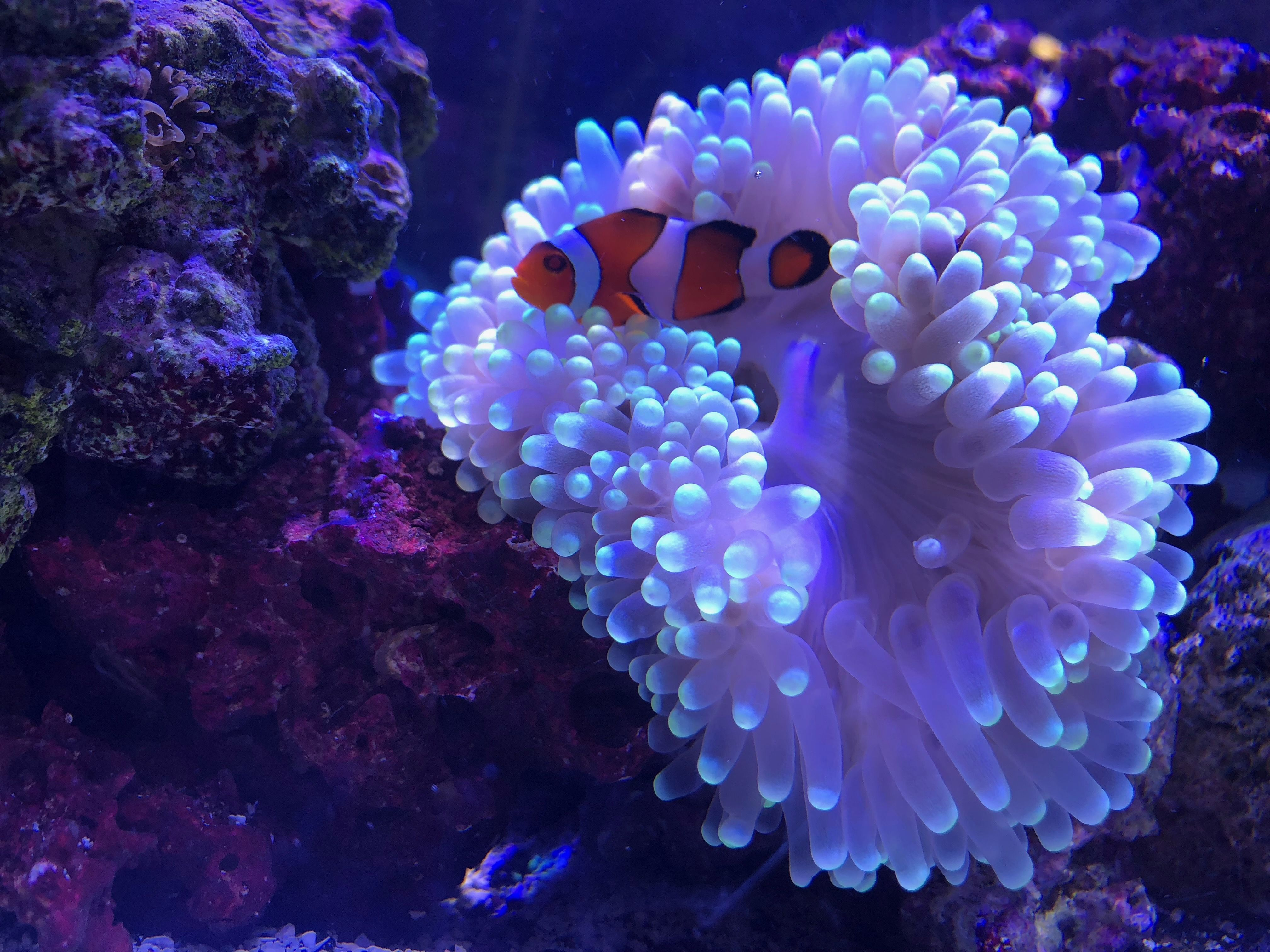 This Is A Ultra Green Bubble Tip Anemone This Comes From The Philippines This Is A Beginner Level Anemone But Bubble Tip Anemone Green Bubble Clown Fish