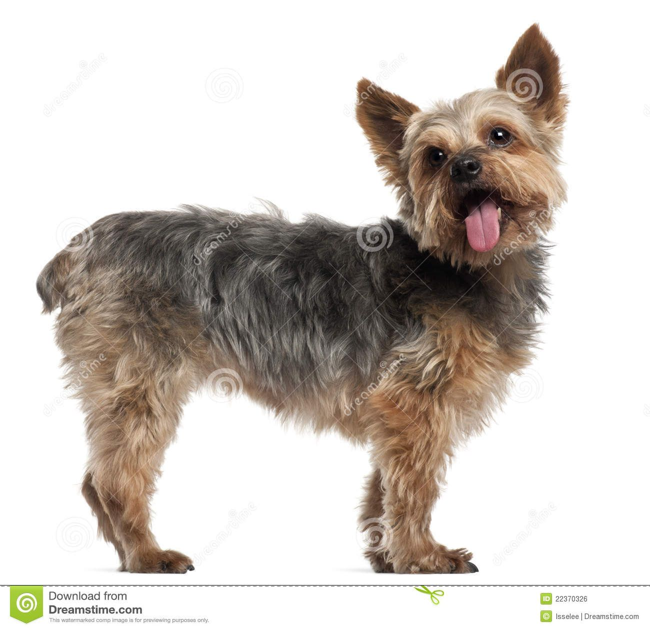 Yorkshire Terrier Older Yorkshire Terrier 14 And A Half Years