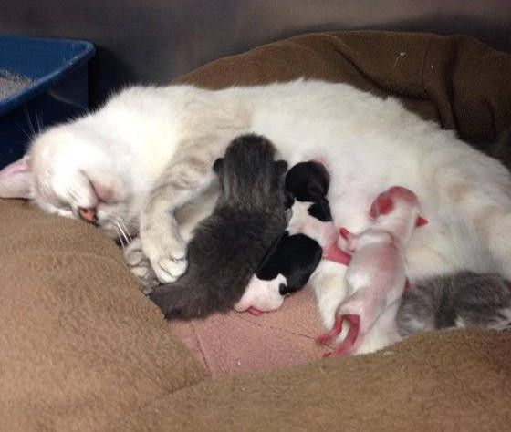 A Siamese Mix Mama Cat Named Nessie Took In Two Premature Puppies