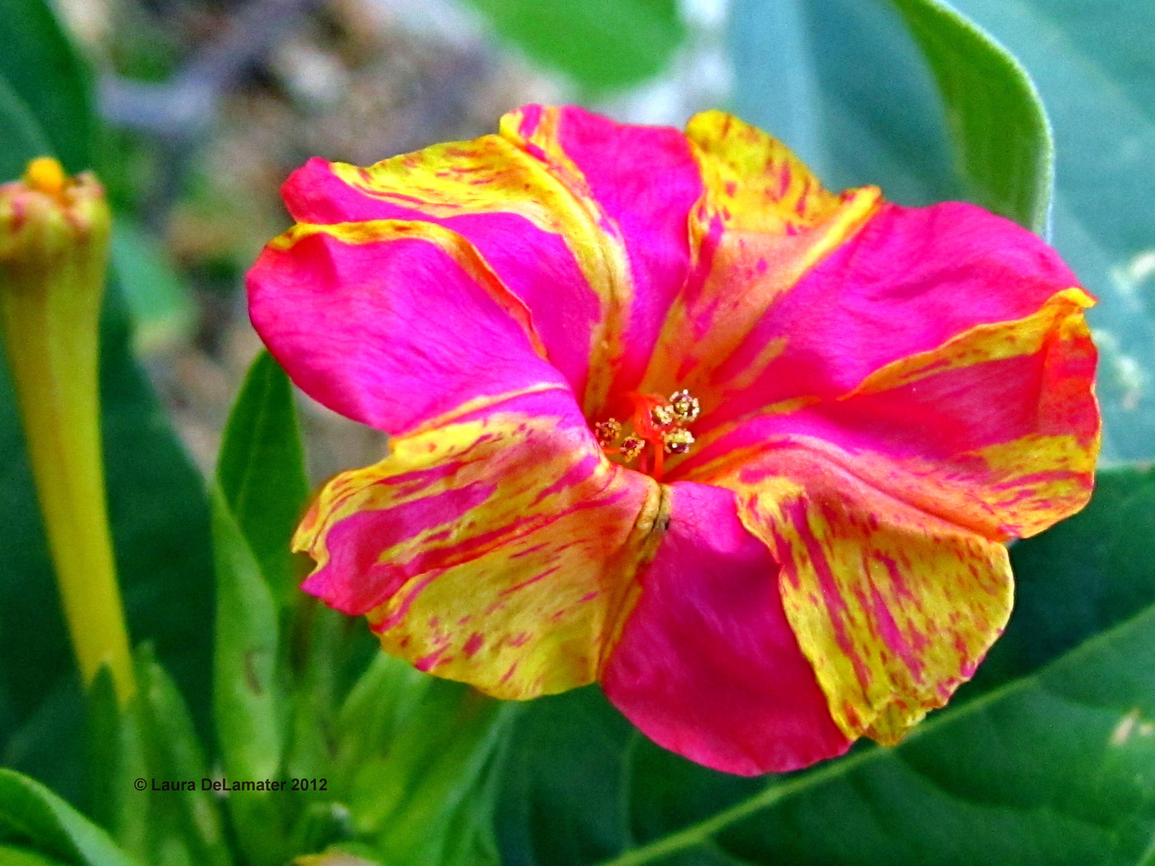 The 4 Oclock Flower Is Native To Peru And Very Poisonous However