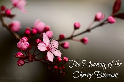 Cherry Blossoms What Exactly Do They Stand For Sakura Flower Cherry Blossom Pictures Cherry Blossom