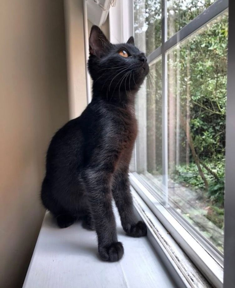 Waiting On Your Amazon Order Like By Furnandezgatos Feat Pantera Pawsitivelyhappy Petsofinstagra Beautiful Cats Beautiful Cat Cats Of Instagram