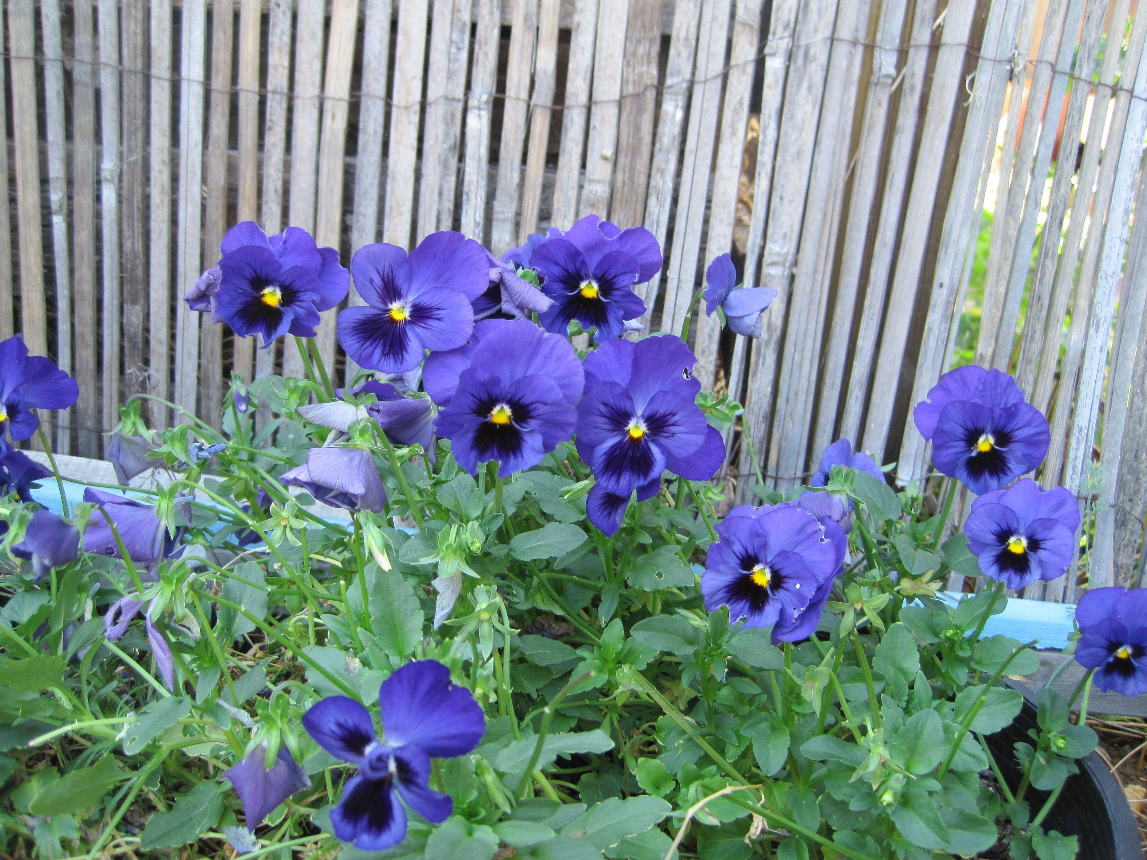 Johnny jump ups or heartsee charming edible flower grows