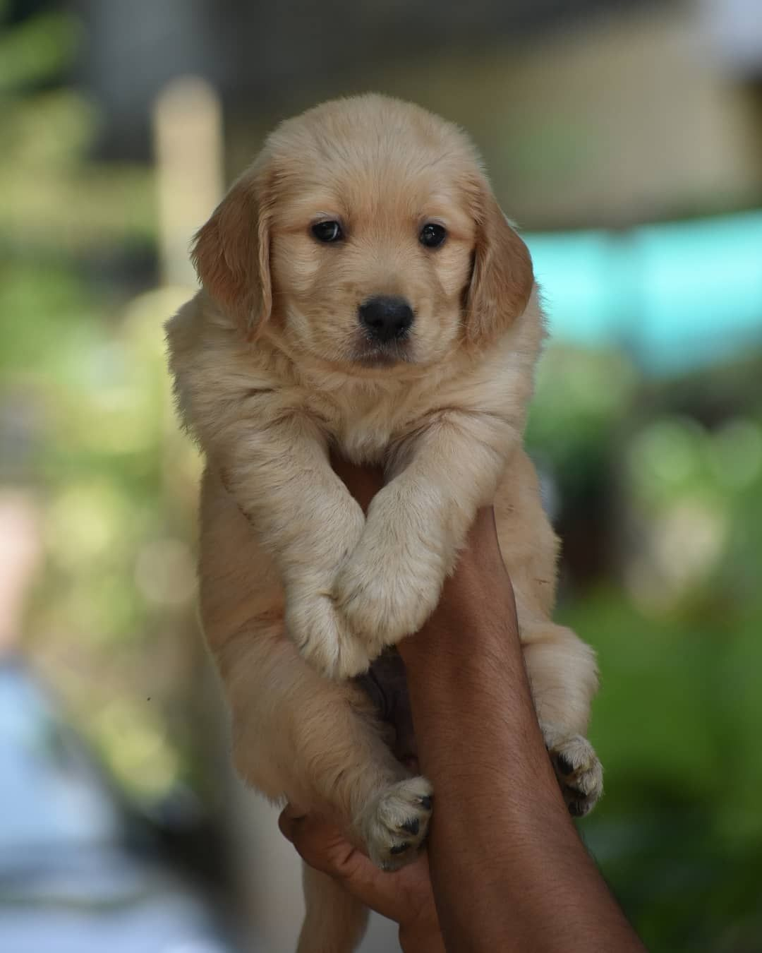 Golden Retriever Puppy Adorable In 2020 Golden Retriever Golden Retriever Puppy Pet Shop