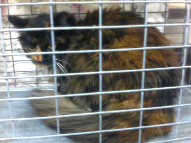 Beautiful Long Haired Tortie Up For Adoption At Animal Foundation Las Vegas Nv She S Beautiful Calico Cat Tortie Adoption