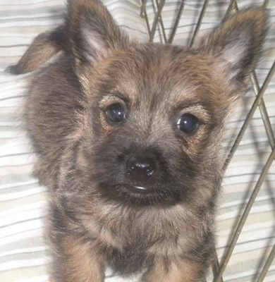 Puppies For Sale Cairn Terriers And Cairnoodles In Hartsburg