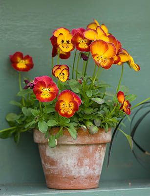 Pin By Wendy Lowe On Art Plants Flowers And Trees Container Flowers Pansies Beautiful Flowers