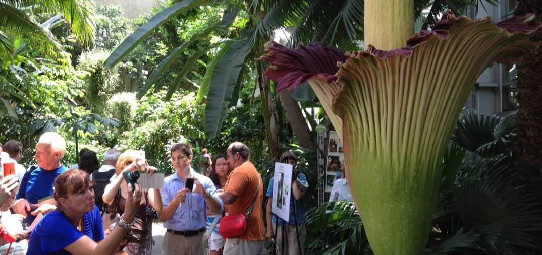 Titan Arum, la flor más grande del mundo, brota en Washington