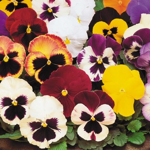 Pansy Matrix Mix 1 Jpg 500 500 Winter Pansies Pansies Flowers Pansies