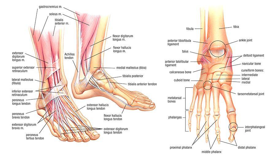 Medial malleolus tibialis posterior anatomy - www.anatomynote.com ...