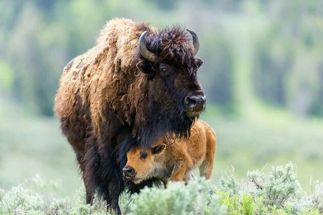 One of the best buffalo pictures I have seen.