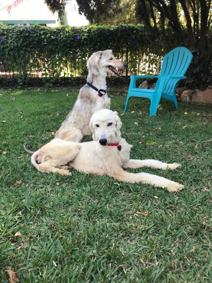Rescued By Afghan Hound Rescue Southern California Afghan Hound