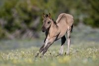 wild mustang colt stretching