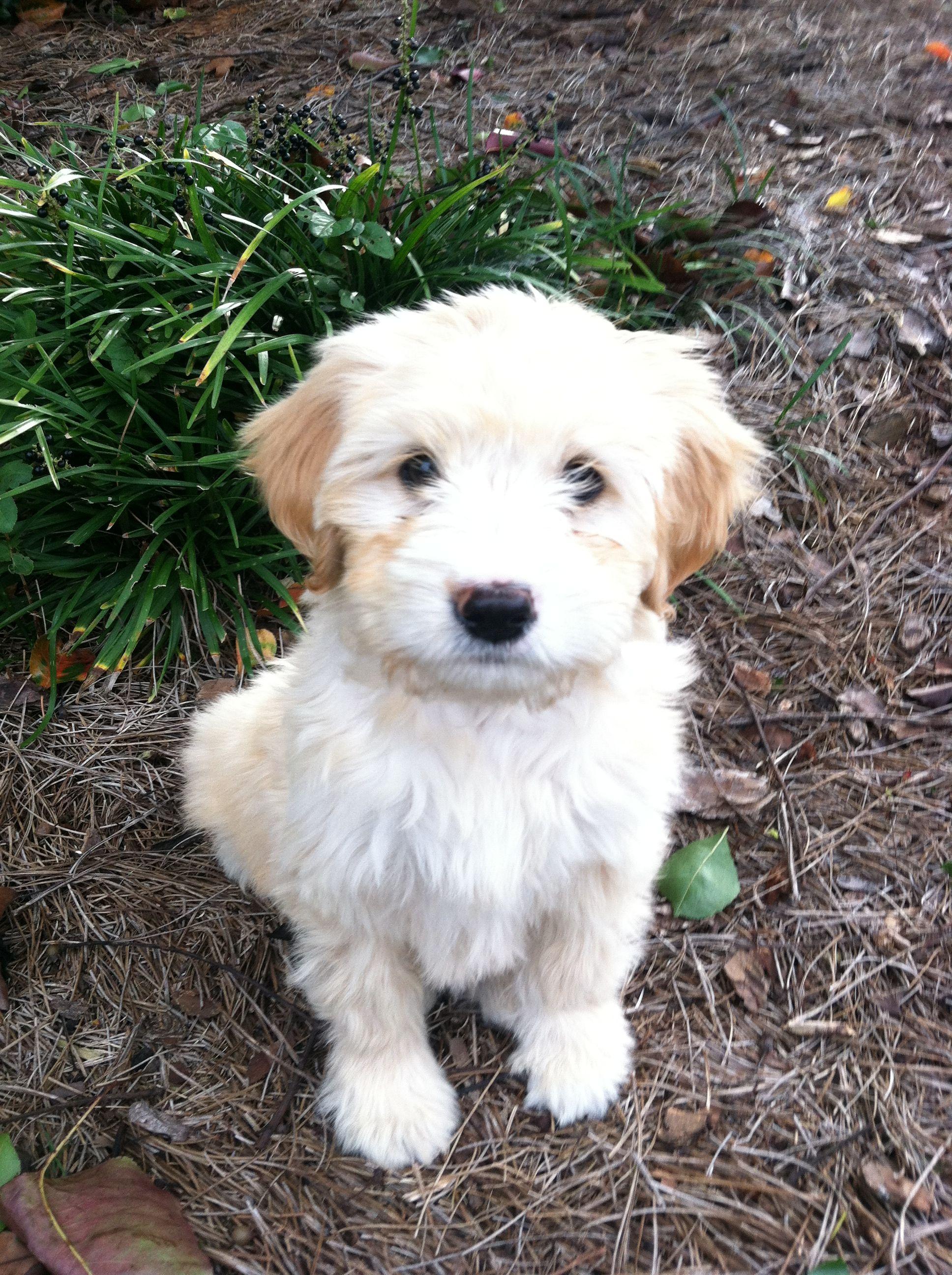 Golden doodle puppy love the white body darker ears