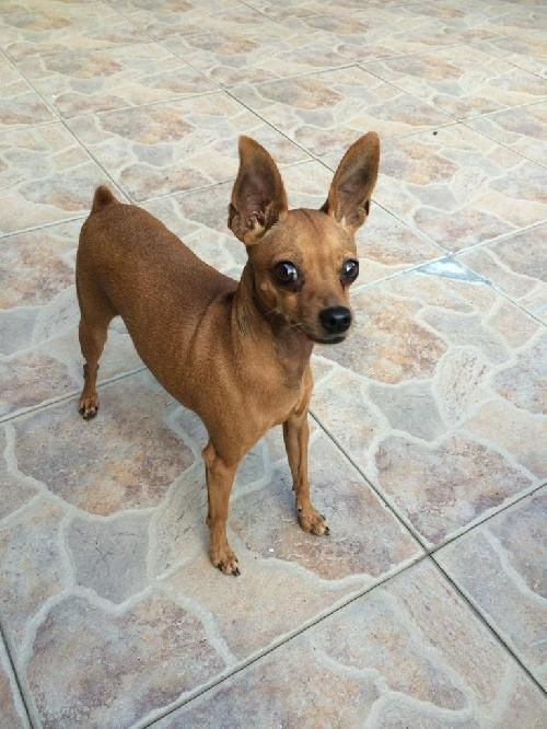 Meet Jena Da Dg A Petfinder Adoptable Miniature Pinscher Dog