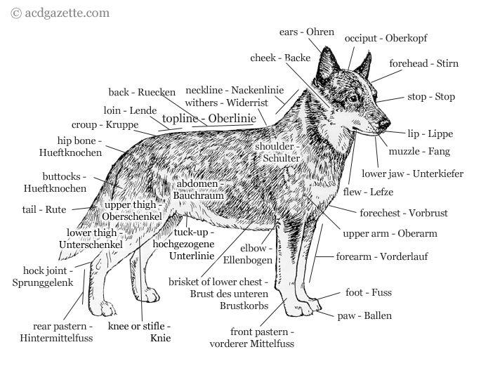 Pin von Ashley Smith auf Dog Anatomy & Conformation Info | Pinterest