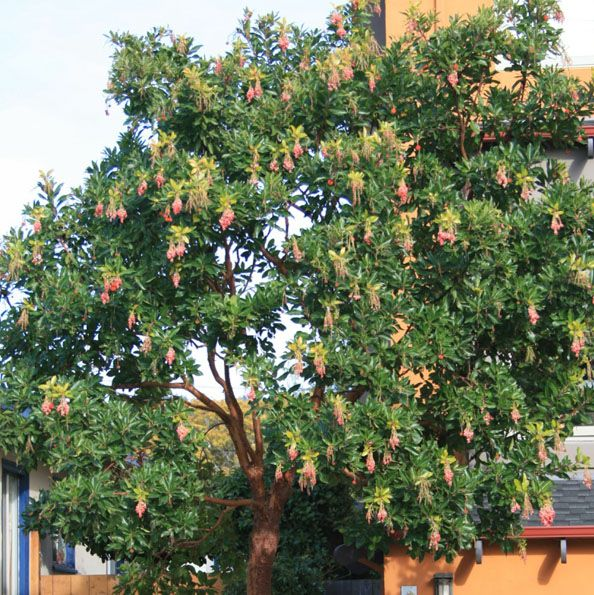 Strawberry Tree Arbutus Unedo Marina Shade Tree 40 50 H X 25 40 W White Pink Urn Shaped Flowers Dram Shade Trees Arbutus Tree Strawberry Garden