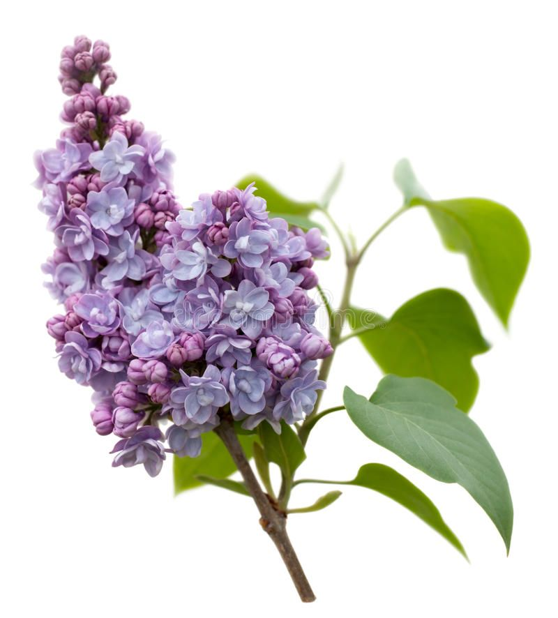 Purple Lilac Flowers Isolated On White Purple Lilac Flowers Syringa Vulgaris Spon Flowers Isolated Purple Lilac Lilac Flowers Lilac Candles Lilac
