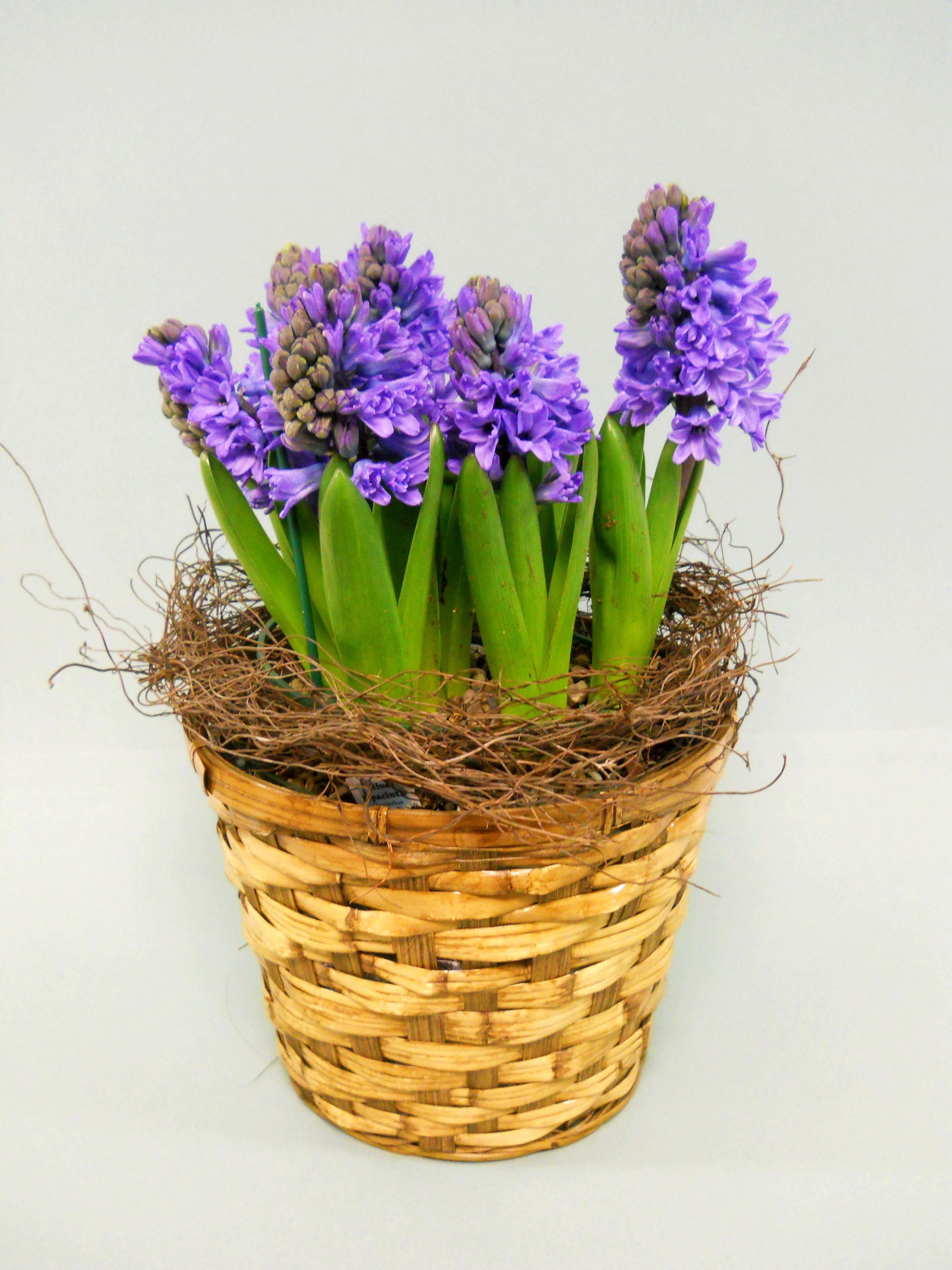 It's hard to find a more elegant or sweetly scented bloom than a Hyacinth! Nestled into a Spring tin are lovely Hyacinth bulbs. It won't take long before the blooms are standing tall, brightening any setting and offering up their intoxicating perfume! $35.99