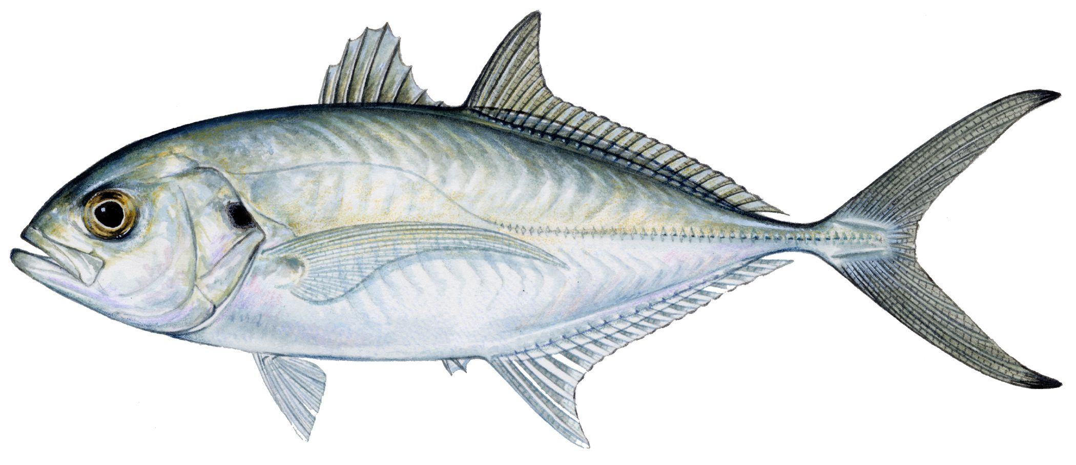Blue runner saltwater fish of florida pinterest for Blue fish florida