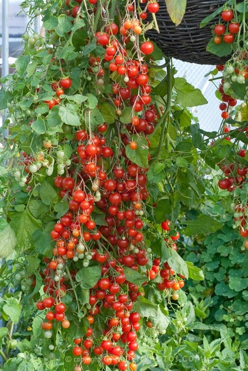 How To Grow Tomatoes In A Hanging Basket Plants Planting