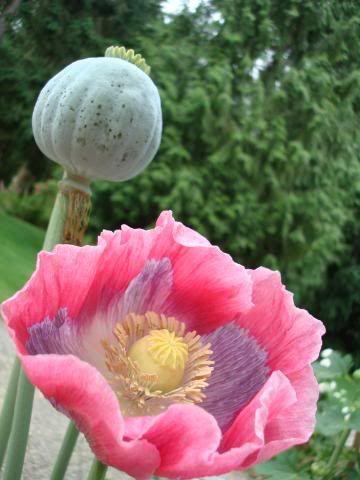 Perennial Somniferum Hen and Chickerns  Flower Seeds 40