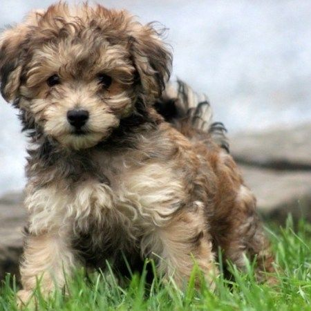 Havanese Poodle A Little About The Havapoo Breed Delightful Is The Best Word To Describe The Havapoo Bre Havapoo Puppies Havanese Puppies Poodle Mix Dogs