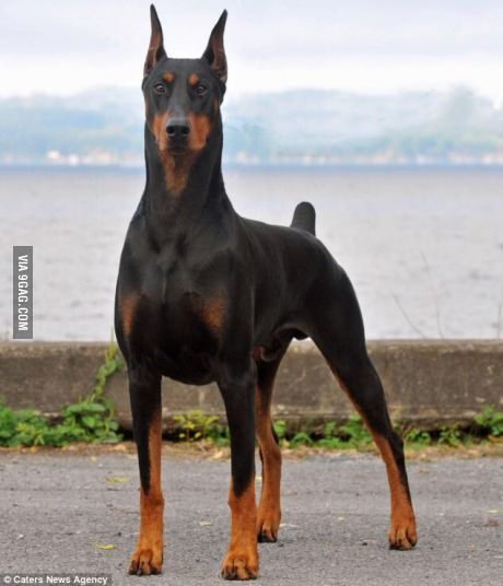Majestic As F Ck Aggressive Dog Breeds Doberman Pinscher