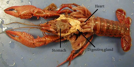 Image detail for Dissection dorsal view – Crayfish Dissection Worksheet