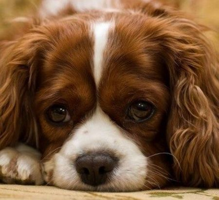 Download Charles Spaniel Brown Adorable Dog - 6b92b9faae4883555a5431b1f5821a56  Best Photo Reference_431462  .jpg
