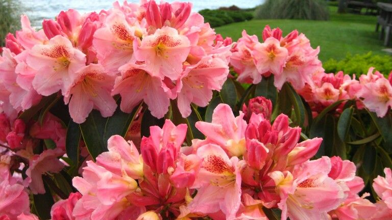 'Peach Surprise'  Rhododendron   Photo by Jan R.Fuller