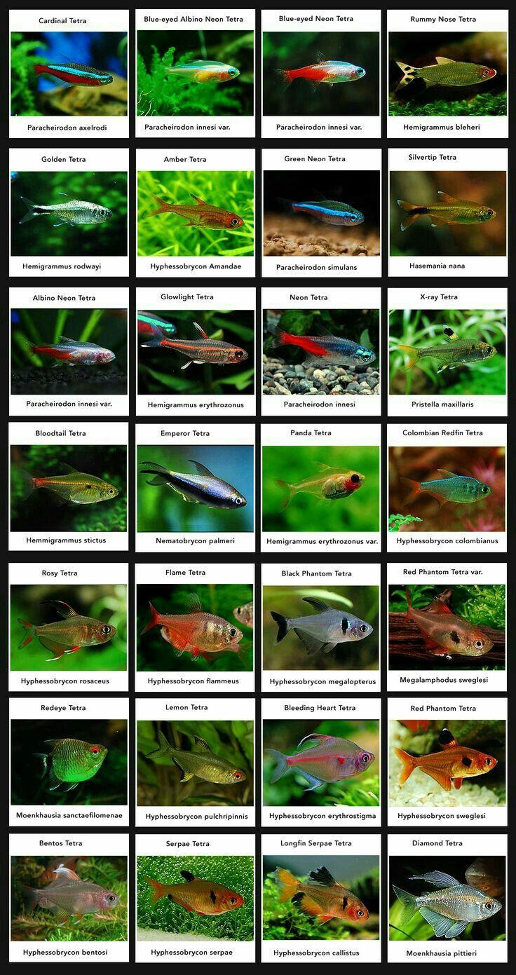 List Of Tetras For Planted Tanks Tropical Fish Aquarium Fresh Water Fish Tank Tetra Fish
