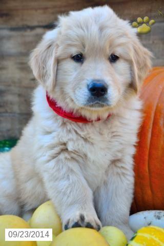Golden Retriever Puppy Golden Retriever Puppy Golden Retriever Puppies