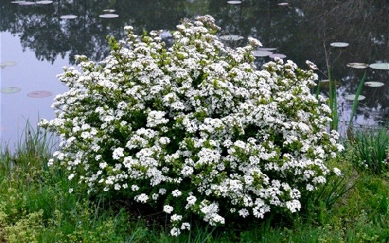 Viburnum Whorled Class (EG Perennial). Sun, Zones 7-9. 4-5\'H. White ...