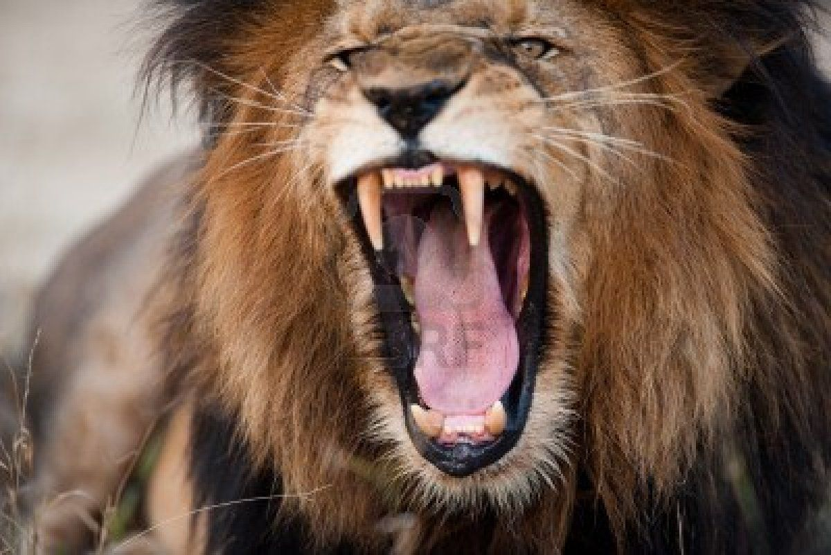 Angry Roaring Lion HD dekstop wallpapers - Angry Roaring Lion ... for Lion Roaring Gif  173lyp