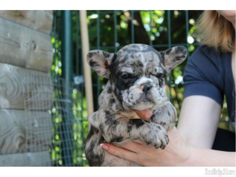 French Bulldog Puppies Florida For Sale You Will Be Satisfied