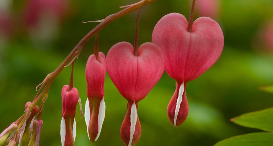 Dicentra Bleeding Heart Flower Happy Valentines Bleeding Heart Bleeding Heart Flower Hd Flower Wallpaper