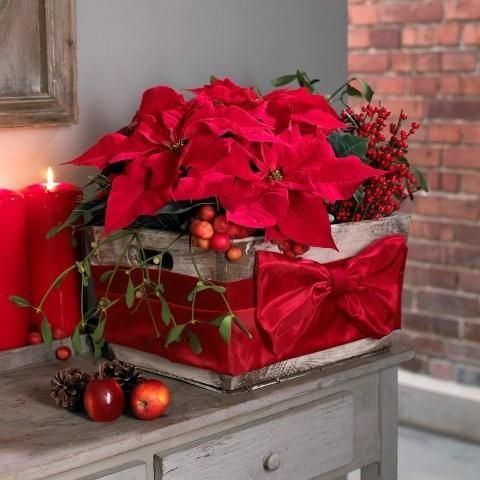Red theme christmas decor how to display your christmas poinsettia christmas star plant - Weihnachtsstern dekorieren ...