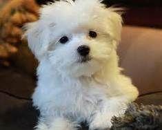 Maltese Puppies Maltese Puppies For Sale Puppies Pug Puppies