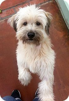 Antioch, CA Tibetan Terrier Mix. Meet Rosie, a dog for
